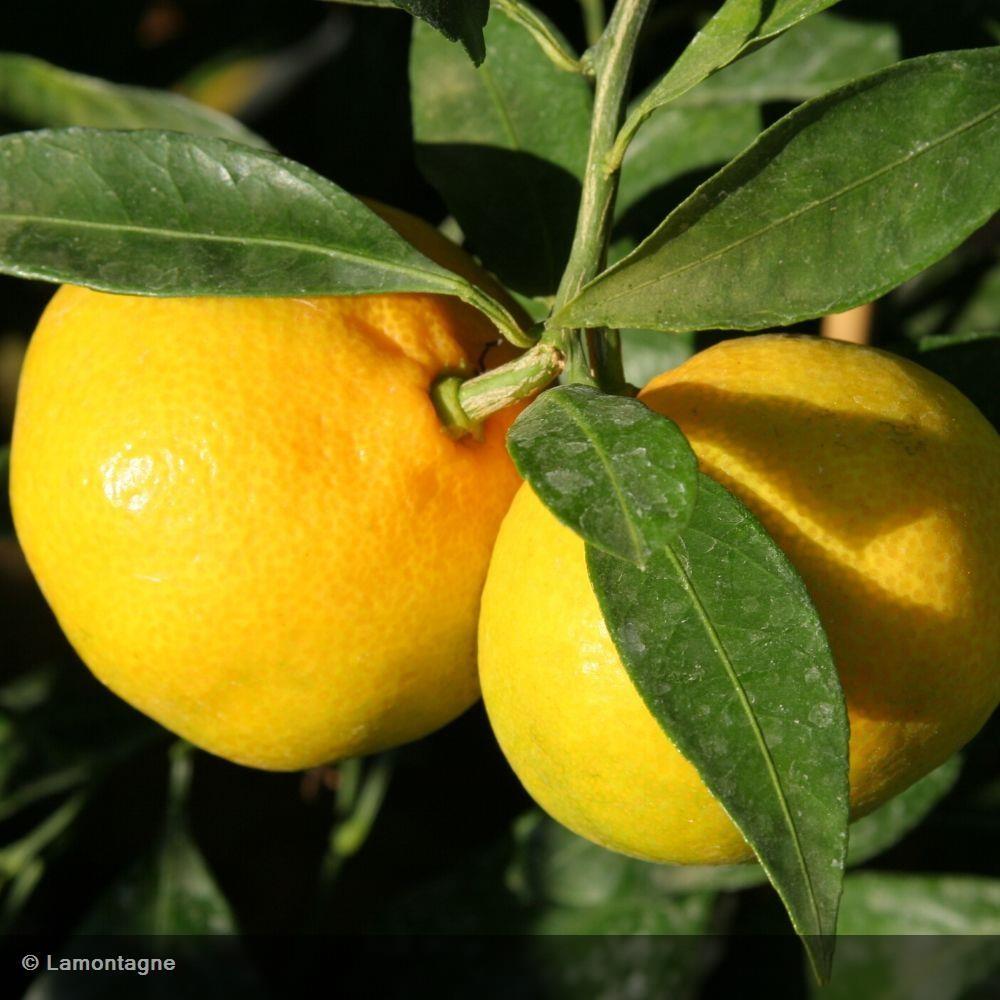 Citrus X US 119 Citrange Agrume rustique (Agrumes)