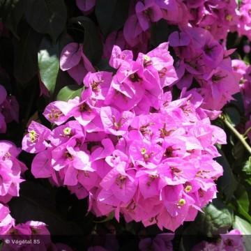 BOUGAINVILLEA spectoglabra Violet de mèze