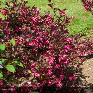 WEIGELIA florida Purpurea