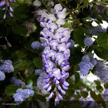 WISTERIA sinensis Caroline