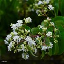 HEPTACODIUM miconioides Tianshan