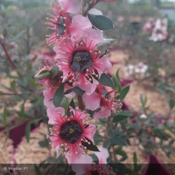 LEPTOSPERMUM lanigerum Mesmer eyes
