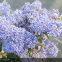 CEANOTHUS impressus Puget blue