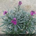 CHEIRANTHUS linifolium Bowles purple