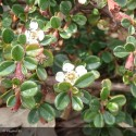 COTONEASTER microphyllus Streib's findling