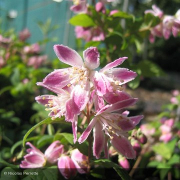 DEUTZIA x Tourbillon rouge