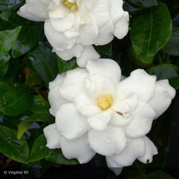 GARDENIA jasminoides Double...