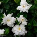 GARDENIA jasminoides Double mint