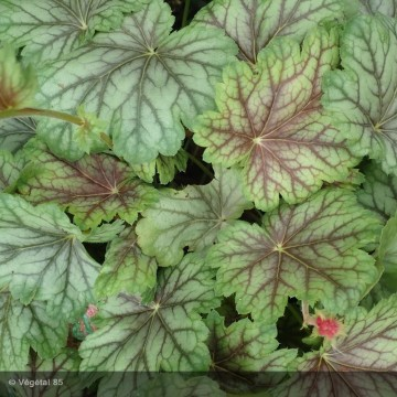 HEUCHERA Peppermint spice
