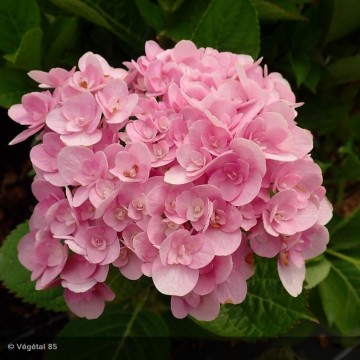 HYDRANGEA macrophylla You and me love