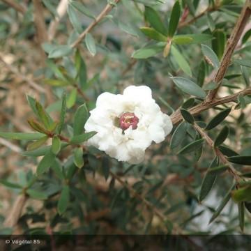 LEPTOSPERMUM scoparium Blanc