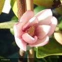 MICHELIA Fairy magnolia blush