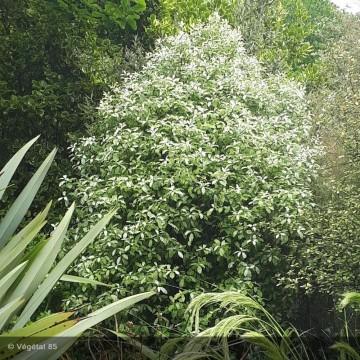 PITTOSPORUM tenuifolium Irene paterson