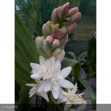 POLYANTHES tuberosa Double la perle