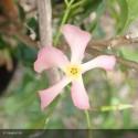 TRACHELOSPERMUM jasminoïdes Pink showers