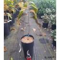 ASIMINA triloba Cantaloupe