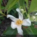 GORDLINIA grandiflora