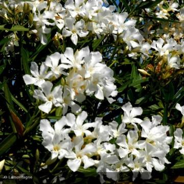NERIUM oleander blanc