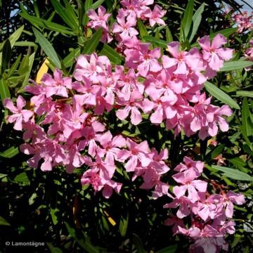 NERIUM oleander rose