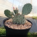 OPUNTIA howeyi