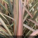 PHORMIUM tenax Flamingo
