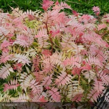 SORBARIA sorbifolia Pink Hopi