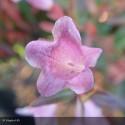 ABELIA grandiflora Edward goucher