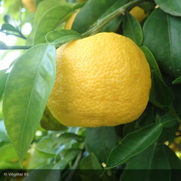 CITRUS junos John lemon(r) Yuzu