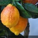 CITRUS limon Sanguineum
