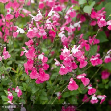 SALVIA microphylla Pink Lips