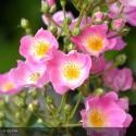 ROSA paniculata Bicolore