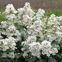 ROSA paniculata Alba