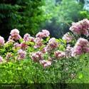 ROSA paniculata Rosea