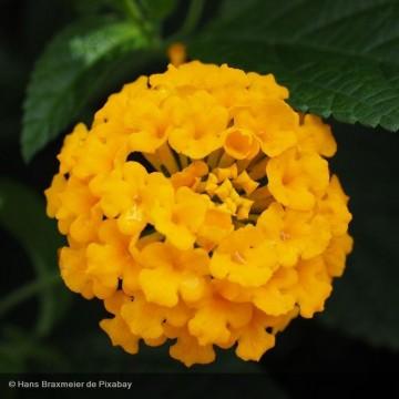 LANTANA Chapel hill yellow