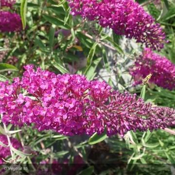 BUDDLEJA davidii Nanho purple
