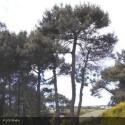 PINUS pinea Specimen