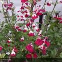 SALVIA microphylla Cherry Lips