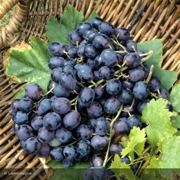 VITIS vinifera Alphonse...