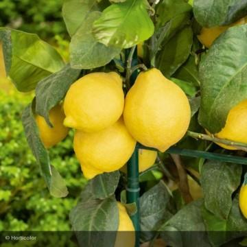 CITRUS limon Meyer greffé...