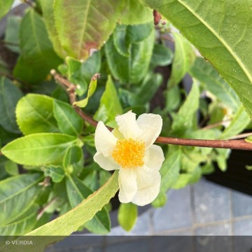 CAMELLIA sinensis Théojardin