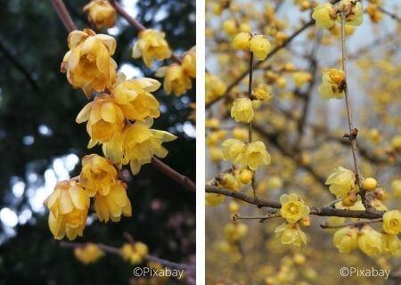 Chimonanthus praecox - un arbuste parfumé en hiver