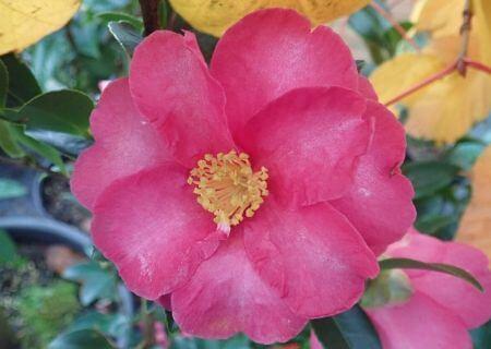 Top 30 arbustes parfumés - Camellila sasanqua