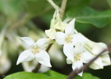 Top 30 arbustes parfumés -Elaeagnus ebbingei - Chalef
