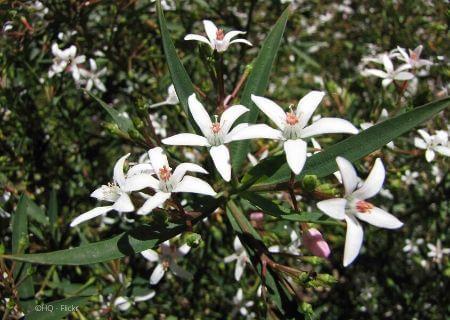 Top 30 arbustes parfumés - Eriostemon