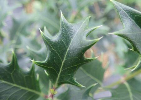 Top 30 arbustes parfumés - Osmanthus heterophyllus