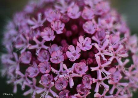 Top 30 arbustes parfumés - Clerodendron bungei
