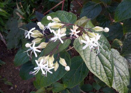 Top 30 arbustes parfumés - Clerodendron trichotomum