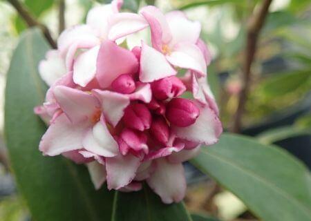 Top 30 arbustes parfumés - Daphne