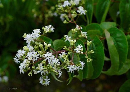 Top 30 arbustes parfumés - Heptacodium