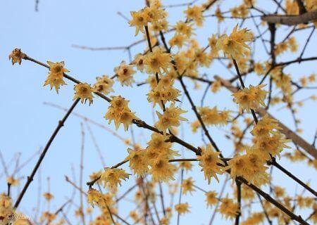 Top 30 arbustes parfumés - Chimonanthus